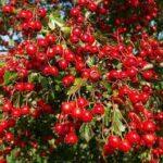 Tratamente naturiste in functie de zodie – Berbec